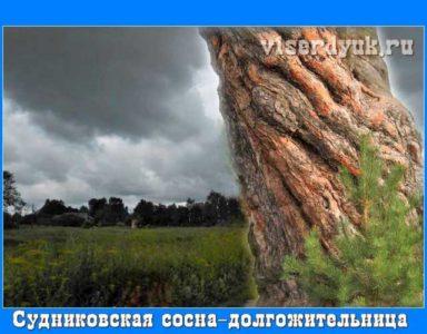 Великовозрастная_сосна_близ_д. Судниково